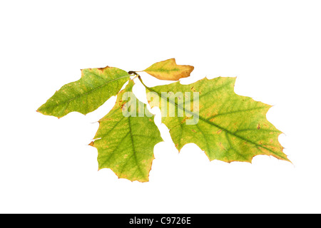 Backlit Autumn Leaf (Turkey Oak) Showing Colour Change from the Green Colour of Chlorophyll to the Yellow of Pigment - Stock Photo