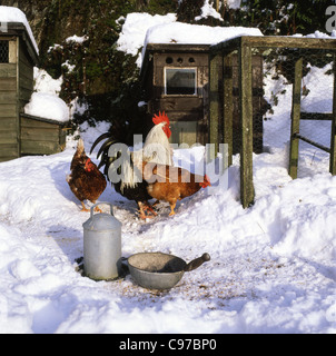 A cockerel and hens chickens pecking for food in the snow in winter Carmarthenshire Wales UK KATHY DEWITT - Stock Photo