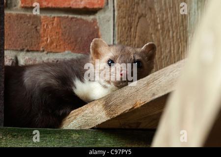 Beech marten (Martes foina) in attic of farm house, Germany - Stock Photo