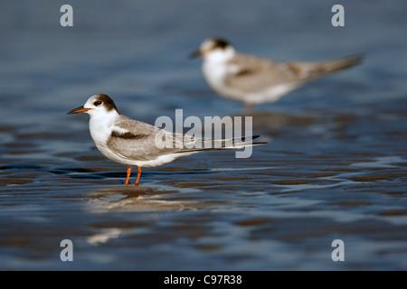 Juvenile Common tern (Sterna hirundo) on beach in autumn - Stock Photo