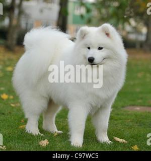 samoyed dog - Stock Photo