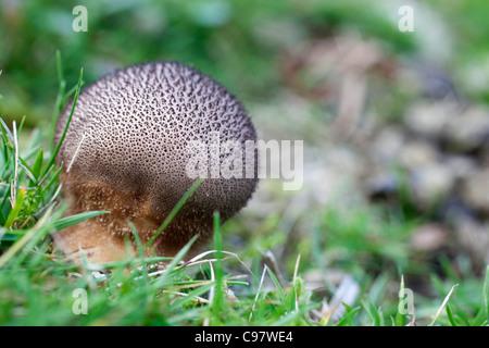 Scaly Meadow Puffball; Hankea utriformis; fungus; Cornwall; UK - Stock Photo