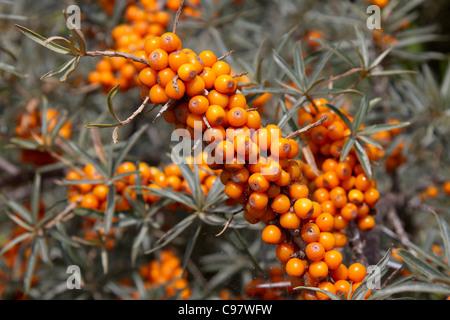 Sea Buckthorn; with berries; Cornwall; UK Stock Photo