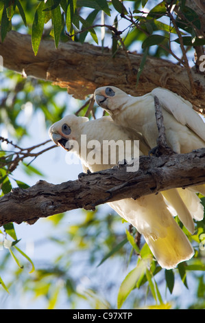 Little Corellas (Cacatua sanguinea).  Kakadu National Park, Northern Territory, Australia - Stock Photo