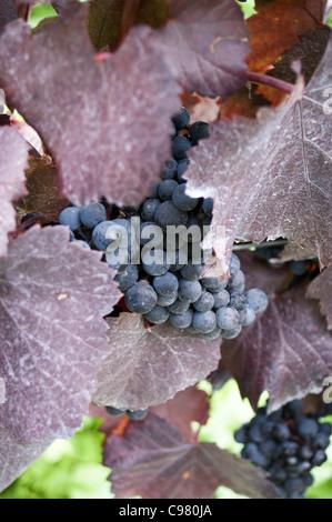 Cabernet Sauvignon grapes in the Herrenberg vineyard, Bad Durkheim, Rheinland-Pfalz, Germany - Stock Photo