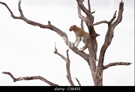 Leopard sitting on a branch in a dead tree - Stock Photo