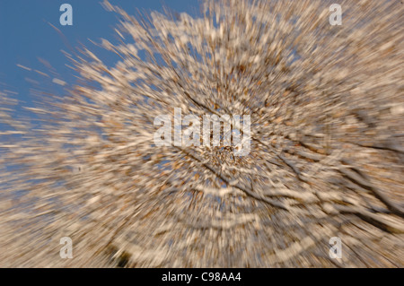 Oak Tree Quercus robur Leaves covered in snow Movement blur Photographed in UK - Stock Photo