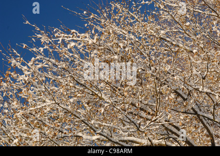 Oak Tree Quercus robur Leaves covered in snow Photographed in UK - Stock Photo