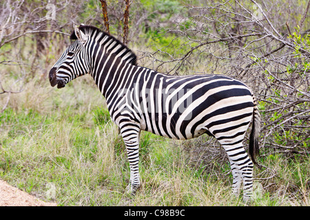Burchell's Zebra 'Equus quagga' stallion stands looking into the bush with ears forward. Kruger National Park  South - Stock Photo