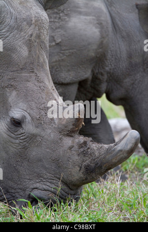 Tight portrait of a white rhino grazing