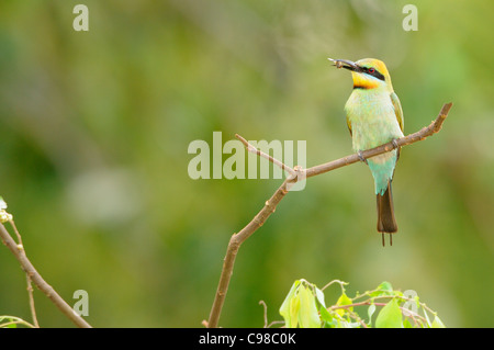 Rainbow Bee-eater Merops ornatus Female with food Photographed in Queensland, Australia - Stock Photo