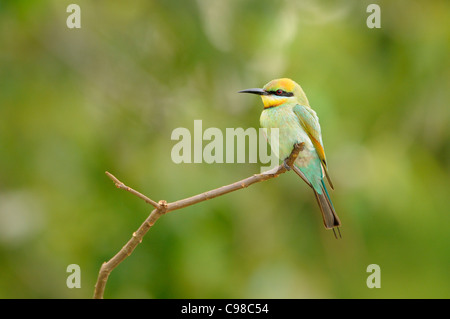 Rainbow Bee-eater Merops ornatus Female Photographed in Queensland, Australia - Stock Photo