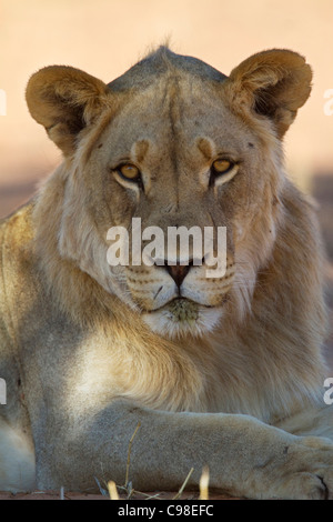 Tight portrait of a young male Kalahari lion - Stock Photo