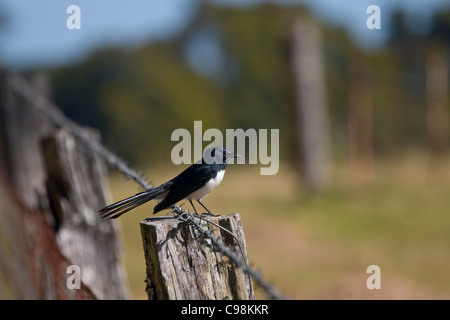 Willie wagtail perched on a fence post - Stock Photo