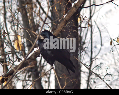 raven sitting on a branch in winter - Stock Photo