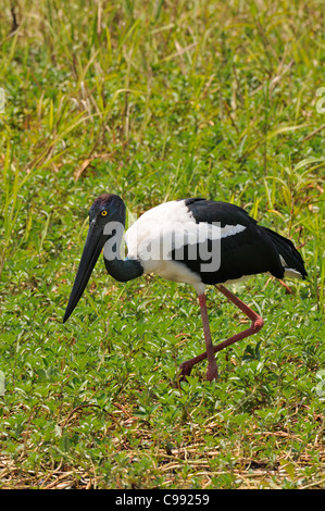 A black-necked stork a long necked wading bird feeding at the Yellow Water Billabong, Kakadu National Park,Northern - Stock Photo