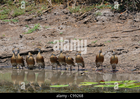 Plumed Whistling Ducks (Dendrocygna eytoni) Yellow Water Billabong, Kakadu National Park, Northern Territory, Top - Stock Photo