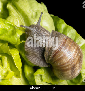 studio photography of a Grapevine snail creeping on fresh lettuce leaves