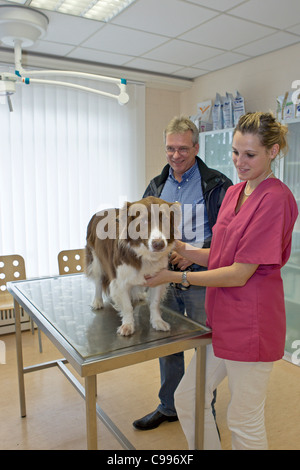 veterinary checking Border Collie dog - Stock Photo