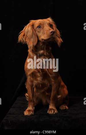 Working Cocker Spaniel on a plain black background - Stock Photo