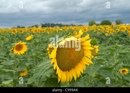 Field of sun flowers in blossom at Le Coudray-Macouard in the French department Maine-et-Loire of the region Pays - Stock Photo