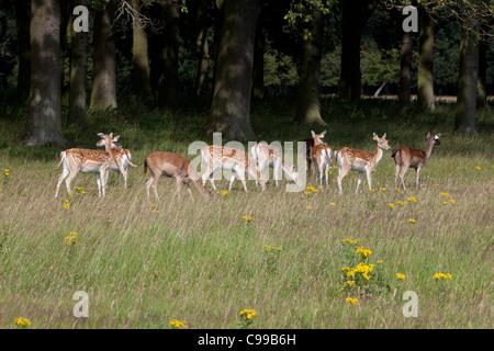 A herd of Fallow deer at the Phoenix Park in Dublin, Ireland - Stock Photo