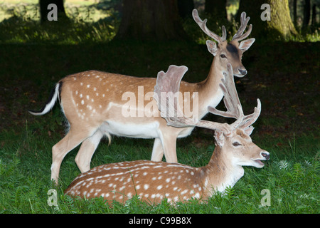 Two Fallow deer at the Phoenix Park in Dublin, Ireland - Stock Photo