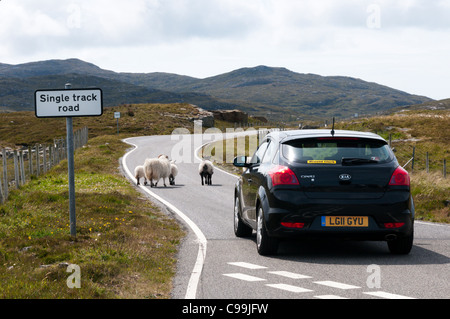 Sheep walking along a single track road in front of a car in Scotland. - Stock Photo