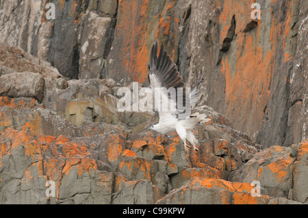 White-bellied Sea-Eagle Haliaeetus leucogaster Photographed in Tasmania, Australia - Stock Photo