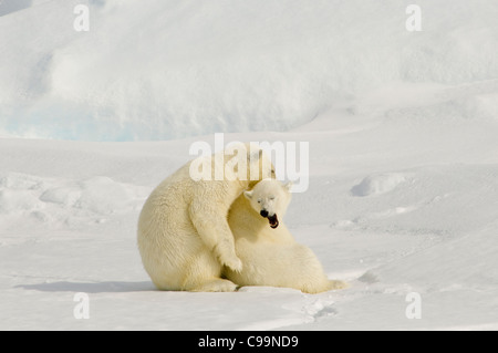 Two adolescent Polar Bears (Ursus maritimus) play-fighting on floating pack ice in the Hinlopen Strait (Hinlopenstretet) - Stock Photo