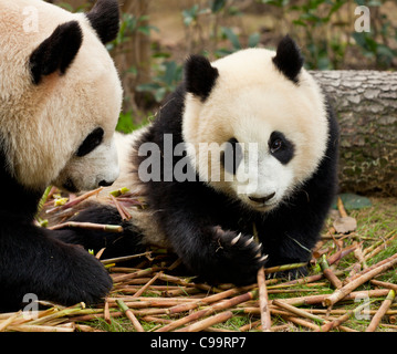 Giant Pandas, Ailuropoda melanoleuca Panda Breeding and research centre, Chengdu PRC, People's Republic of China, - Stock Photo