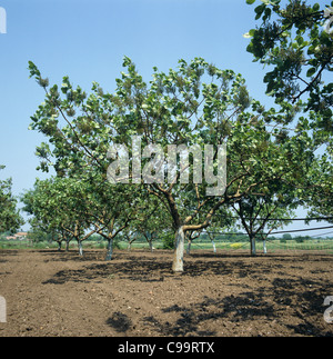 Pistachio nut (Pistacia vera) trees in a young weed free orchard, Greece - Stock Photo
