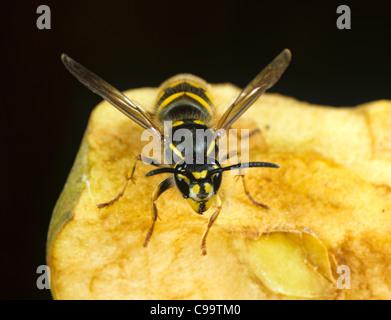 Common European wasp (Vespula vulgaris) on eaten apple - Stock Photo