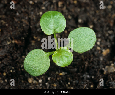Heartsease johnny jumpup or wild pansy (Viola tricolor) cotyledons & two true leaves forming - Stock Photo