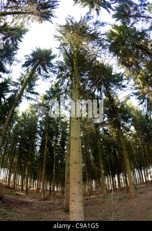 Norway spruce (Picea abies) plantation - Stock Photo
