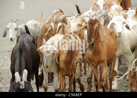 Group of goats in Nubra Valley, Ladakh, Jammu & Kashmir State, India. - Stock Photo