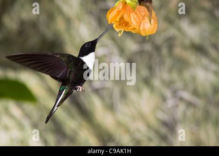 Collared Inca hummingbird, Coeligena torquata, feeding on Chinese Lantern Plant, Abutilon × hybridum, at Guango - Stock Photo