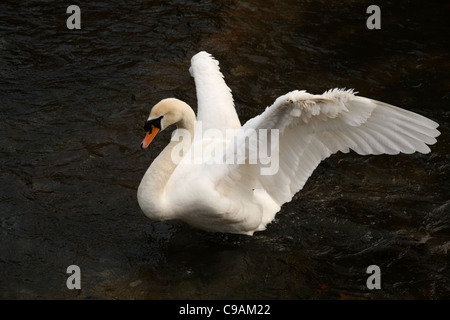 White Mute Swan (Cygnus Olor) stretching open wings on the River Itchen in Winchester, Hampshire, United Kingdom. - Stock Photo