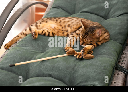 A Bengal cat lying exhausted after playing. - Stock Photo