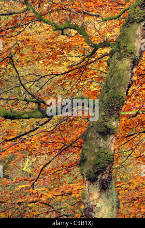 Brightly colored autumn foliage of Strid Wood along the banks of the River Wharfe in Wharfedale, Yorkshire, England - Stock Photo