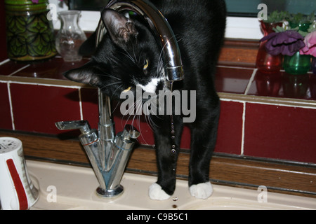 Black male cat with white nose and front paws drinking from kitchen tap - Stock Photo