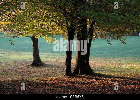 Late afternoon sun shining through Common Beech trees - Stock Photo