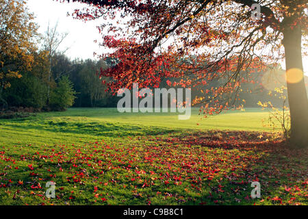 ... Maple Tree With Autumn Leaves At Smithu0027s Lawn Near Savill Garden  Windsor England UK   Stock