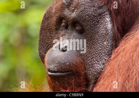 Profile shot of a dominant adult male Bornean orangutan orang utan orang-utan with cheek pads. Horizontal. Copy - Stock Photo