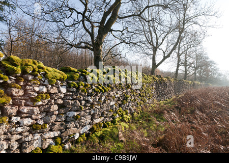 Looking along a length of drystone wall covered in moss with leafless trees behind, Cumbria, England - Stock Photo