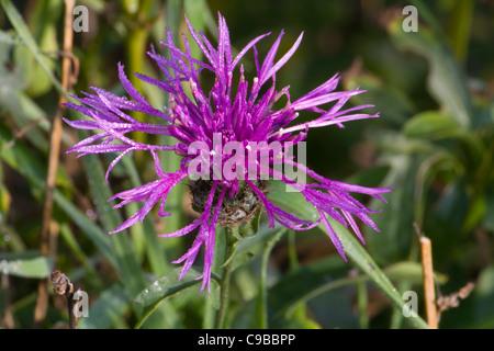 A Common Knapweed (Centaurea nigra) flower - Stock Photo