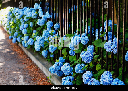 Blue Hydrangea Flowers Poking Through a Fence, Bellevue Avenue, Newport, Rhode Island - Stock Photo