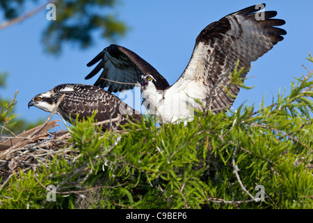 A pair of Ospreys in their nest in a cypress tree. - Stock Photo