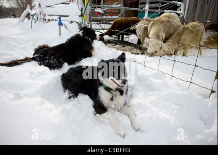 Border Collies in the snow in front of sheep pen - Stock Photo