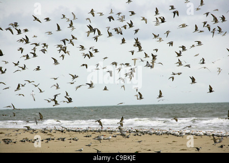 guinea, Bassigos Island, Seagulls flying on the sea shore - Stock Photo